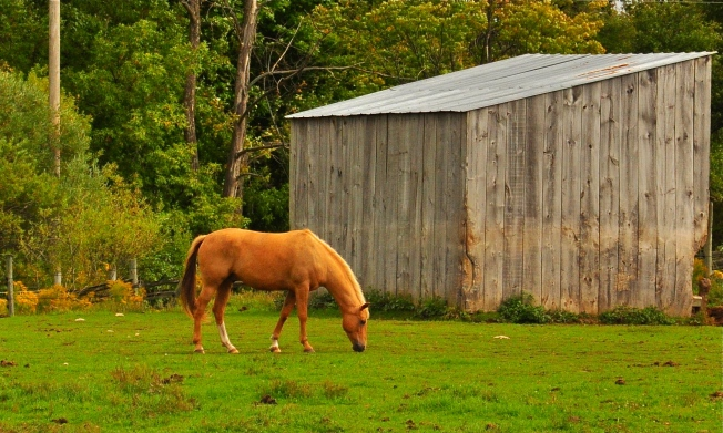 horse, photograph, palomino, gelding, field, grazing, trees, forest, shed